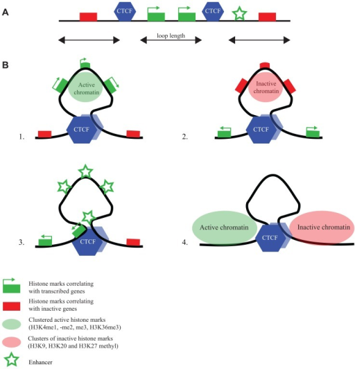 CTCF flanks chromatin marked by specific histone modifications.(A) Linear representation of a chromosomal region with active and inactive genes, CTCF binding sites and an enhancer (for explanation of symbols, see bottom figure). (B) ChIA-PET reveals different chromatin loops formed by CTCF (Handoko et al., 2011): CTCF loops demarcate regions (1) with active chromatin marks, (2) with inactive chromatin marks, (3) with enhancers and promoters, and (4) with undefined chromatin surrounded by regions with opposing chromatin signatures.