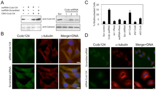 Depletion of Ccdc124 in HeLa cells by RNAi leads to cytokinesis failure.(A) HeLa cells were transfected with either esiRNAs or shRNA vectors (Sh1, Sh2, Sh3) targeting Ccdc124, cell lysates were collected at 48 hrs post-transfection, and immunoblotted with antisera to Ccdc124. Where indicated, Ccdc124 expression vector (CMV-Ccdc124) was cotransfected with gene-specific esiRNAs in order to rescue the cellular effect of Ccdc124 depletion. Scrambled control transfections were indicated (Scr). Calnexin expression was monitored as loading control. (B) Immunostainings of endogenous Ccdc124 in cells transfected with Ccdc124-specific esiRNA, or with scrambled control esiRNA were carried out with anti-Ccdc124 Ab. Costainings with γ-tubulin antisera have indicated subcellular positions of MTOCs (C) Cells described and analyzed in (A) were scored for bi- and multinucleation (n = 5± SD). (D) Representative micrographs of Ccdc124 depleted multinuclear or control esiRNA treated normal dividing cells described in (C). Bars represent 10 µm.