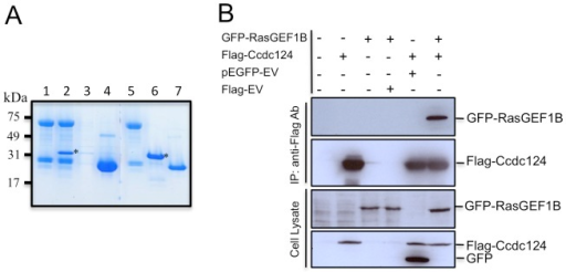 RasGEF1B is an interaction partner of Ccdc124.(A) In vitro GST pull-down assay indicating a possible interaction between RasGEF1B and Ccdc124. GST-RasGEF1B protein were immobilized on GSH-beads, followed by incubation with empty PBS buffer control (lane 1), or with bacteria purified His-tagged Ccdc124 (lane 2). As controls, GSH-beads w/o RasGEF1B protein incubated with His-Ccdc124 to monitor the amount of His-Ccdc124 proteins binding to GSH-beads in the absence of a putative interaction partner (lane 3), or GSH-beads immobilized with GST protein and incubated with His-Ccdc124 to monitor interaction capacity of Ccdc124 with GST (lane 4). Lanes 5, 6, 7 are stainings of 100 ng bacteria purified GST-RasGEF1B, His-Ccdc124, and GST proteins, respectively, run in the same gel to monitor their corresponding sizes. Bands corresponding to His-Ccdc124 were marked with asterisks (*). (B) HEK-293 cells were either transfected with Flag-Ccdc124 or GFP-RasGEF1B expression vectors alone or with indicated control plasmids, or alternatively they were co-transfected with Flag-Ccdc124 and GFP-RasGEF1B together, followed by immunoprecipitations (IP) on cell lysates using protein-G beads with anti-Flag antibodies. Subsequently, immunoblots were done on IP or cell lysate samples using anti-GFP (monitoring GFP-RasGEF1B) or anti-Flag-HRP (to assess Flag-Ccdc124) antibodies.