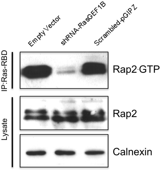 The guanine nucleotide exchange factor RasGEF1B controls cellular Rap2.GTP status.HEK-293 cells were transfected either with RasGEF1B specific shRNA expressing vector (Sh-D, Figure S4), scrambled shRNA expressing vector, or empty vector (negative control), 48 hrs later cells were lysed as described at Materials and Methods, they were cleared by centrifugation, and active Rap was precipitated with a glutathione S-transferase fusion protein of the Ras-binding domain of RalGDS precoupled to glutathione-Sepharose beads. Rap2 activation assay were carried-out by using anti-Rap2 monoclonal Abs. Results confirmed that shRNA mediated down-regulation of RasGEF1B expression effectively block generation of Rap2.GTP, although total cellular Rap2 was not affected. Calnexin expression was monitored as loading control.