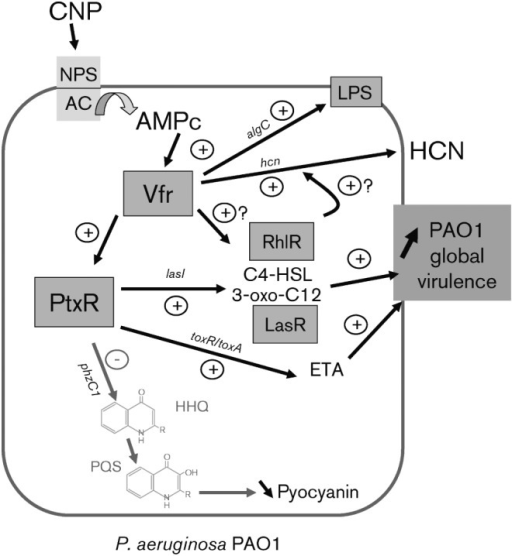 Schematic model representing the mechanism of action of natriuretic peptides on P. aeruginosa PAO1. Activation of the membrane natriuretic peptides sensor (NPS) by CNP induces a rise in intra-bacterial cAMP concentration through adenylate cyclase (AC) activation (Veron et al., 2007). Then, the global regulator Vfr, activated by cAMP, regulates directly or indirectly (after PtxR activation) the expression of several virulence factors such as ETA, HCN and pyocyanin through the modulation of QS signalling molecules. Finally, CNP binding on P. aeruginosa PAO1 increases global bacteria virulence.