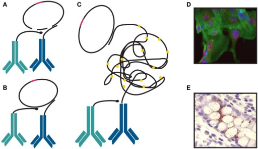 Proximity ligation assay. (A) Two probes stay in close proximity by binding to a protein or two proteins present in one complex. (B) They are joined and circularized by DNA ligation upon introduction of linear connector oligonucleotides. After ligation, rolling-circle amplification (RCA) is initiated. One of the proximity probes is used as a primer. (C) The single-stranded RCA products are hybridized with labeled detection oligonucleotide complementary to a multiplied motif in the sequence of the RCA product. The detection oligonucleotide can be labeled with fluorophore (D) or a horse radish peroxidase (E).