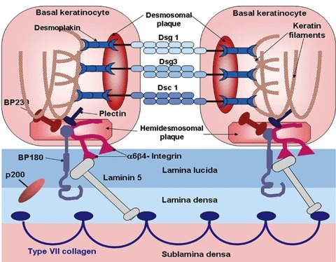 Schematic diagram of the desmosome and the dermal-epide | Open-i
