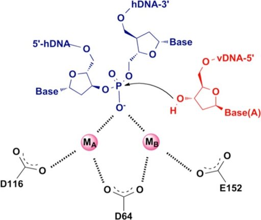 ST step. The attack of the 3′ ends of vDNA on the phosphodiesterbonds of host DNA is coordinated by metal ions.