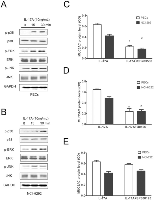 MAPK signaling mediated IL-17A induced MUC5AC in PECs and NCI-H292 cells in vitro.(A) Representative western blot result of phosphorylated p38, ERK and JNK in PECs after IL-17A stimulation. (B) Representative western blot result of phosphorylated p38, ERK and JNK in NCI-H292 cells after IL-17A stimulation. (C, D) MUC5AC protein level in cultured PECs and NCI-H292 cells after IL-17A stimulation for 24 h in the presence of specific inhibitors of p38, ERK and JNK. The data are expressed the means (SEM) of 3 independent experiments. * p<0.05 when compared with control PECs, #p<0.05 when compared with control NCI-H292 cells.
