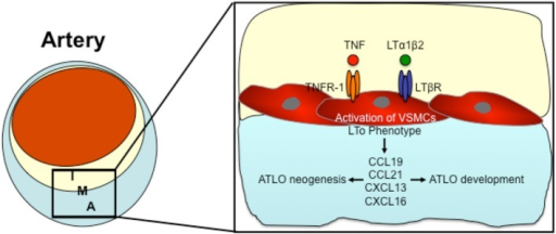 The possible role of VSMCs in the formation of Adventitial tertiary lymphoid organs (ATLOs). Pro-inflammatory cytokines (such as TNF and LTα1β2) activate VSMCs by TNFR-1 or LTßR signaling thereby inducing an LTo phenotype in VSMCs. Activated VSMCs express lymphorganogenic chemokines such as CCL19, CCL21, CXCL13, and CXCL16, thereby orchestrating ATLO neogenesis and developement. I, Intima; M, Media; A, Adventitia.