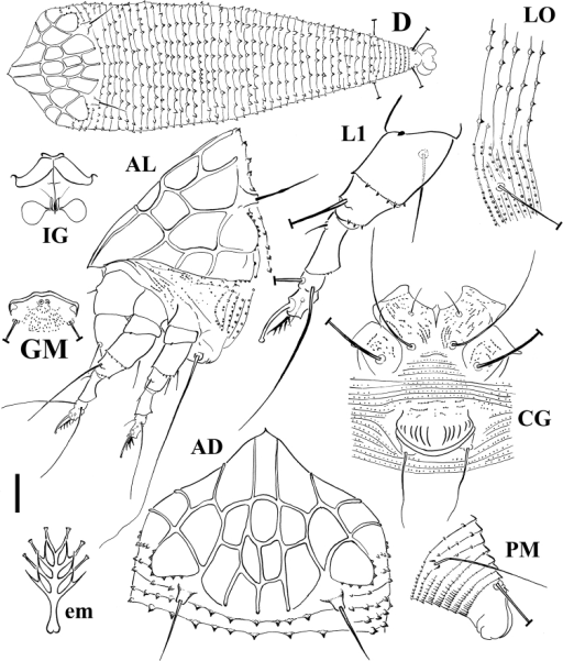 Schematic Drawings Of Echinacrus Ruthenicus Sp N Ad