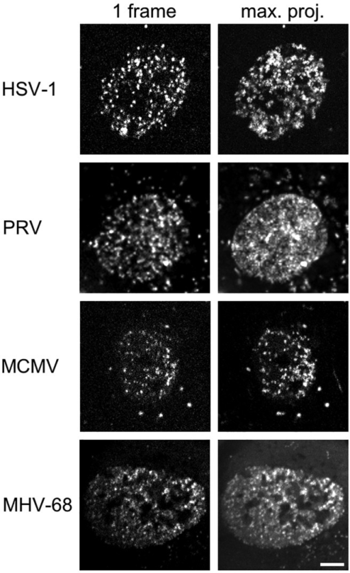 Representative members of all Herpesviridae subfamilies show intranuclear capsid motility. MEF cells constitutively expressing Lifeact-EGFP were infected with HSV-1 mRFP-VP26, PRV mRFP-VP26, MCMV S-mCherry-SCP, or MHV-68 mCherry-ORF65 at a multiplicity of infection (MOI) of at least 5. Live cell spinning disk microscopy with at least 3.7 frames per second was performed in one confocal section after the first capsids appeared in the nucleus at 6 hpi, 4 hpi, 20 hpi, or 8 hpi, respectively. The right column depicts a temporal maximum projection of at least 20 frames representing 5.4 s. The degree of signal smearing indicates the degree of capsid motility. Scale bar indicates 5 µm.