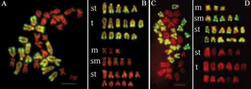Representative metaphase chromosomes and karyotypes of F1 hybrids of Chlamysfarreri ♀ × Argopectenirradiansirradians ♂ examined by GISH. Chromosomes were labeled by FITC (green) and counterstained by PI (red). In (A, B), chromosomes originated from Argopectenirradiansirradians were painted green using the labeled genomic DNA probes from Argopectenirradiansirradians. In (C, D), chromosomes from Chlamysfarreri were painted green using the labeled genomic DNA probes from Chlamysfarreri. m: metacentric, sm: submetacentric, st: subtelocentric, t: telocentric. Bars = 5 µm.
