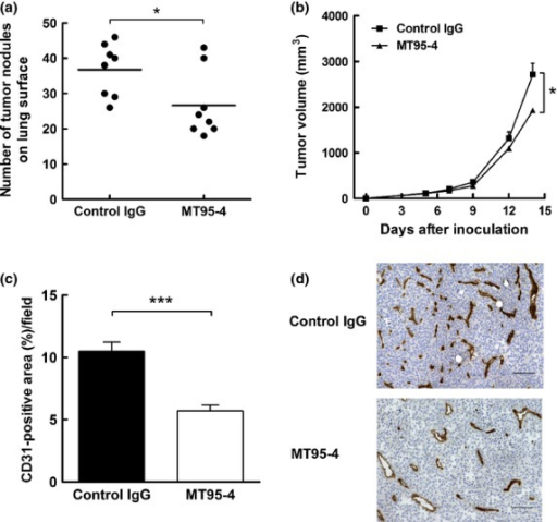 Effects of MT95-4 on tumor progression in the tail vein metastasis model and subcutaneous tumor model using APN-B16 cells. Mice were administered MT95-4 or control IgG (1 mg/kg) i.p. twice a week. (a) Evaluation of the number of lung surface nodules in the tail vein metastasis model following injection of APN-B16 cells. The number of tumor nodules on the lung surface was counted 21 days after injection of APN-B16 cells. Each bar represents the mean number of nodules from eight mice per group. $P < 0.05. (b) Evaluation of tumor volume in a subcutaneous tumor model using APN-B16 cells. The sizes of subcutaneous tumors were measured twice a week for 2 weeks after inoculation of APN-B16 cells. The data represent the means (± SEM) from eight mice per group. $P < 0.05. (c) Evaluation of angiogenesis in subcutaneous tumors derived from APN-B16 cells. The area of CD31-positive vessels was measured. Data represent the means (± SEM) from eight mice per group. $$$P < 0.01. (d) Immunohistochemical staining for CD31 in a subcutaneous tumor. Scale bar, 100 μm.
