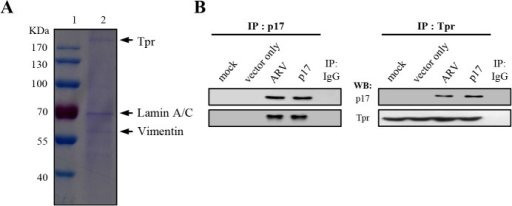 Identification of potential cellular factors that interact with p17.(A)Vero cells were transfected with pcDNA3.1-p17 plasmid for 24 hours, followed by a co-immunoprecipatation assay by p17 antibody. Cellular proteins co-immunoprecipated by p17 antibody were analyzed by SDS-PAGE. Lane 1: protein marker; lane 2: Co-immunoprecipated proteins by p17 antibody. (B) Reciprocal co-immunoprecipitation assays in both ARV-infected and p17-transfected cells were performed with either p17 or Tpr antibodies.