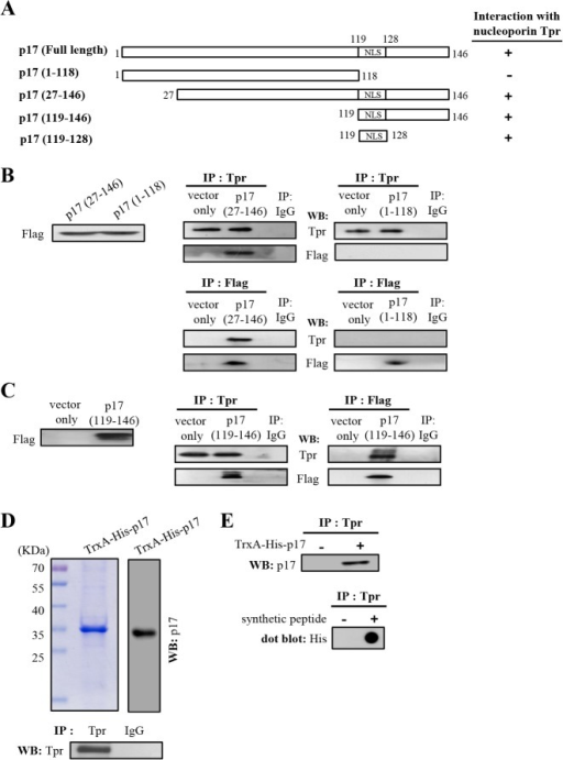 The NLS within p17 directly interacts with Tpr.(A) To map the region within p17 that was involved in Tpr binding, a series of truncated versions of Flag-tagged p17 constructs were established. Schematic representation of p17 deletion mutants is shown. The ability of the p17 and truncated p17 mutants to interact with Tpr is shown on the right hand side of the panel. +, strong binding;-, no binding. (B-C) Cellular lysates from Vero cells transfected with Flag-tagged p17 deletion vectors were immunoprecipitated with anti-Tpr and anti-Flag antibodies, respectively. Following immunoblotting analysis, Tpr and Flag-tagged p17 deletion proteins (1–118 and 27–146) (panel B) and p17 (119–146) (panel C) were detected by using Tpr and Flag antibodies. (D) Immunoprecipitation of Tpr by using an anti-Tpr antibody was performed. The immunoprecipitated Tpr proteins were separated by SDS-PAGE followed by Western blot assay using an anti-Tpr antibody (lower panel). Purified TrxA-His-p17 fusion protein was analyzed by SDS-PAGE followed by Western blot assay using an anti-p17 antibody (upper panel). Rabbit IgG was used as a negative control. (E) In vitro binding assays using a synthetic peptide (His-p17-NLS, His6-IAAKRGRQLD) and purified TrxA-His-p17 fusion protein were performed. The synthetic peptide His-p17-NLS (lower panel) and purified TrxA-His-p17 fusion protein (upper panel) were then subjected to analysis for their binding abilities to Tpr, as revealed by Western blot and dot blot assays, as indicated. The representative data are from three independent experiments.