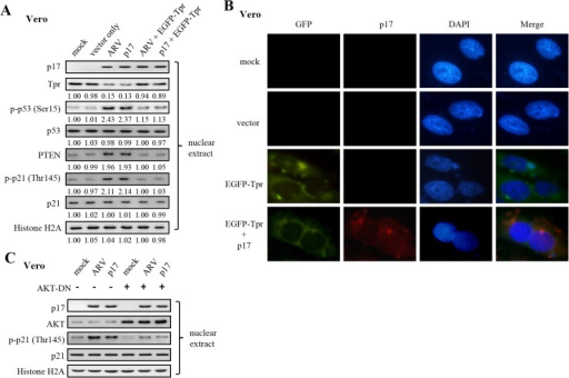 A rescue experiment by overexpression of EGFP-Tpr in ARV-infected and p17-transfected vero cells as well as examination of AKT required for p21 phosphorylation.(A) To carry out a rescue experiment by overexpression of EGFP-Tpr in ARV-infected and p17-transfected vero cells, cells were transfected with the EGFP-Tpr plasmids for 48 hours, and then either infected with ARV at an MOI of 10 or p17 transfection for 24 hours. Whole cell lysates were collected for Western blot assays. Histone H2A was used as a loading control. The activation and inactivation folds indicated below each lane were normalized against those in mock controls (cell alone). The levels of indicated proteins in the mock control were considered 1-fold. (B) Representative images of vero cells transfected with plasmids overexpressing EGFP-Tpr. Vero cells were transfected with negative controls (mock and vector only) or EGFP-Tpr plasmid for 48 hours and then visualized by immunofluorescence following nuclear DAPI staining. In addition, another set of cells were transfected with EGFP-Tpr for 48 hours and then transfected with p17 for 24 hours. Cells were fixed and processed for immunofluorescence staining of p17. Colocalization of EGFP-Tpr and p17 was observed under a fluorescence microscope. Scale bar: 10 um. (C) To examine whether AKT kinase activity is directly required for p21, we used an Akt DN to inhibit AKT in Vero cells. The levels of p-p21 (T145) in the nucleus were examined in ARV-infected and p17-transfected cells in the presence or absence of an Akt DN. Histone H2A was used as a loading control.