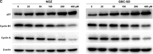 20(S)-Rg3 blocks the cell cycle progression of gallbladder cancer cells.Notes: (A, B) The cell cycle phases of the treated cells were evaluated by flow cytometry. (C) Western blot analysis of cell cycle-related proteins in both cell lines. β-actin was used as a loading control. Data represent the mean ± SD of three independent experiments.Abbreviation: SD, standard deviation