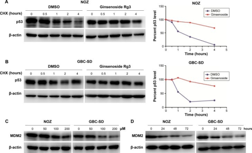 20(S)-Rg3 inhibits MDM2-mediated ubiquitination and degradation of p53.Notes: (A, B) NOZ and GBC-SD cells were treated with CHX for 4 hours. Western blot analysis was carried out using an antibody specific for p53. β-actin was used as a loading control. (C, D) NOZ and GBC-SD cells showed a dose- and time-dependent decrease in MDM2 expression following 20(S)-Rg3 treatment. Data represent the mean ± SD of three independent experiments.Abbreviations: CHX, cycloheximide; SD, standard deviation; DMSO, dimethyl sulfoxide.