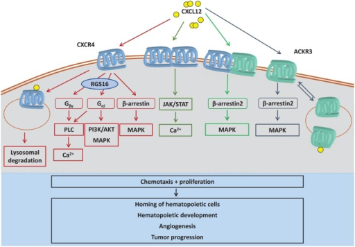 CXCL12-induced signaling pathways. CXCL12 can trigger intracellular signaling by binding to CXCR4 monomers, CXCR4 homodimers, ACKR3, or CXCR4/ACKR3 heterodimers. CXCR4 preferentially activates G protein-mediated signaling, which is negatively regulated by RGS16. The atypical chemokine receptor ACKR3 (previously called CXCR7) functions as a CXCL12 scavenger and also signals via β-arrestin. Also, complex formation between CXCR4 and ACKR3 shifts CXCL12-induced signaling away from classical G protein signaling to β-arrestin signaling. By CXCL12-induced dimerization, CXCR4 has also been reported to induce JAK/STAT signaling. Whereas CXCR4 is mostly degraded after CXCL12-elicited internalization, ACKR3 is continuously internalized and recycled to plasma membrane independent of ligand binding, a process that also promotes CXCL12 degradation. CXCL12 is known to induce chemotaxis and proliferation, supporting several downstream biological processes such as hematopoietic development, angiogenesis, or tumor progression. AKT, protein kinase B; Ca2+, calcium ions; Gα, G protein subunit α; Gβγ, G protein subunit βγ; JAK, janus kinase; MAPK, mitogen-activated protein kinase; PI3K, phosphatidylinositide 3-kinase; PLC, phospholipase C; RGS16, regulator of G protein signaling 16; STAT, signal transducer and activator of transcription.