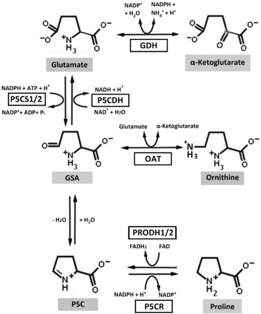Proline metabolic pathways in higher plants. In the biosynthesis pathway, ornithine and glutamate can be converted to glutamate-γ-semialdehyde (GSA) by ornithine-δ-aminotransferase (OAT) and 1Δ-pyrroline-5-carboxylate (P5C) synthetase (P5CS), respectively. GSA can then spontaneously cyclize to P5C by losing one molecule of H2O. P5C is the substrate for P5C reductase (P5CR), which catalyzes the last step in proline synthesis. In the catabolic pathway, proline dehydrogenase (PRODH) and P5C dehydrogenase (P5CDH) catalyze the oxidation of proline to glutamate. Electrons from reduced flavin (FADH2) are transferred to the respiratory electron transport chain to regenerate oxidized flavin (FAD) and complete the PRODH catalytic cycle. Glutamate dehydrogenase (GDH) interconverts glutamate and α-ketoglutarate, which enters the tricarboxylic acid cycle. Higher plants harbor two isoforms of P5CS and PRODH.