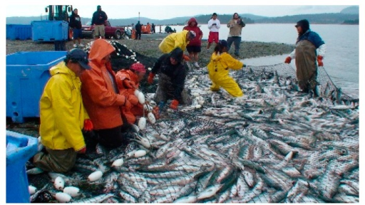 "Image of Swinomish ""community connection""—beach seiners pulling in a net with salmon. (photo by Jim Gibson)."