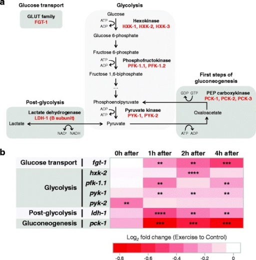 Transcriptional changes in C. elegans are consistent with reduced glucose metabolism after swim exercise. a Diagram of glucose metabolism highlighting the steps that we chose for our expression analysis. C. elegans proteins are shown in red. For simplicity, several metabolic steps are omitted. b Heat map summarizing quantitative polymerase chain reaction results in N2 animals at different time points post-exercise for glucose metabolic genes (n = 5 independent trials). Expression data is presented as log2 fold change of exercise samples relative to control samples in a color gradient from red (downregulation) to white (no change). Paired two-tailed Student's t tests were used to compare relative expressions of control versus exercise samples at each time point. See Additional file 5 for detailed results for each gene. **P < 0.01; ***P < 0.001; ****P < 0.0001