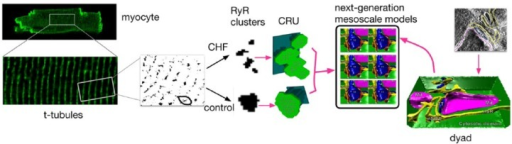 Representation of the next generation of subcellular computational models, from left: super-resolution light microscopy permits resolution of the morphology of ryanodine receptor (RyR) clusters, which can be incorporated into synthetic geometries of the calcium release unit (CRU). Using these synthetic geometries, one can easily and systematically alter the distribution of RyRs, the shape and volume of the junctional SR (jSR) and network SR (nSR), and the cleft volume, and begin to analyze the different contributions quantitatively, permitting query into how spark fidelity is affected by RyR density, by cluster breakup, by cleft height, or by small and narrow jSR (local depletion of Ca). On the other hand (from right), these synthetic geometries neglect the potentially important role played by detailed and realistic CRU structures, which can now be obtained from electron tomography. (Images reproduced from Hake et al.58 with permission.)