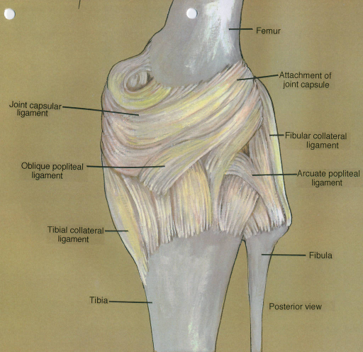 capsular ligament; oblique popliteal ligament; tibial collateral ligament; tibia; femur; attachment of joint capsule; fibular collateral ligament; arcuate popliteal ligament; fibula