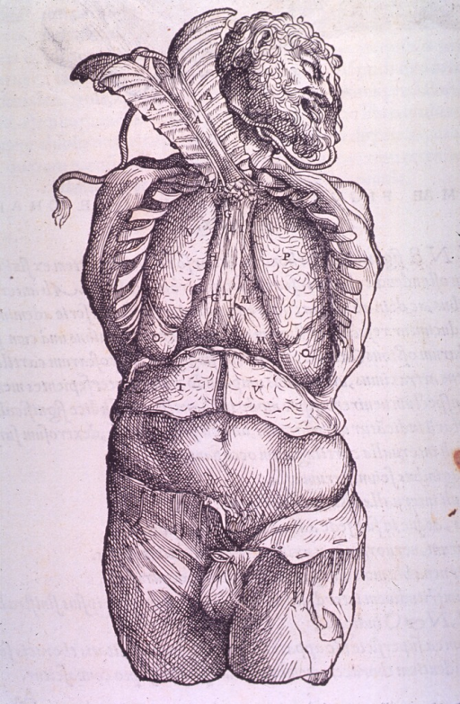 <p>Frontal view of the thoracic cavity.</p>