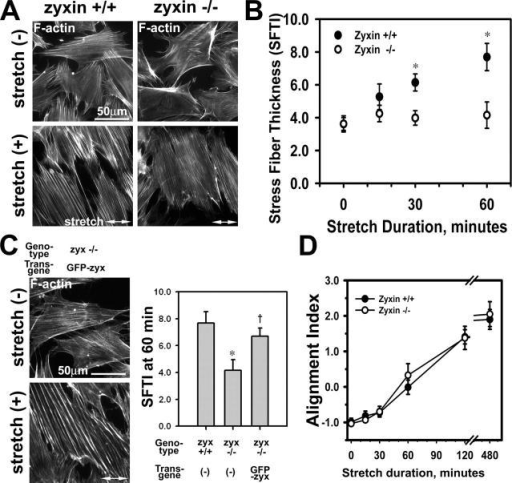 Zyxin is required for actin stress fiber reinforcement in response to mechanical stimulation. (A) F-actin (phalloidin) in zyxin +/+ and −/− fibroblasts before (−) or after (+) cyclic stretch. Note the thinner stress fibers in stretched zyxin −/− cells. (B) SFTI was measured over a 1-h time course of stretch stimulation. Zyxin- (−/−) fibroblasts showed an impaired actin thickening response (*, P < 0.05). (C) Phalloidin staining and SFTI analysis indicated that the expression of GFP-zyxin in zyxin −/− cells rescued the stress fiber reinforcement response (*, P < 0.05 vs. +/+; †, P < 0.05 vs. −/−). (D) Comparison of the alignment index of zyxin +/+ and −/− cells over an 8-h time course of stretch stimulation. Error bars represent SEM.