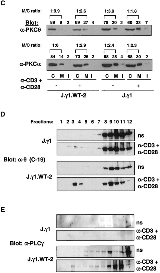 PKCθ membrane translocation is independent of PLC activity. (A) Jurkat T cells (106) were stimulated with anti-CD3 plus anti-CD28 antibodies for 5 min. Aliquots of the cells were preincubated for 1 h with U73122 (10 μM) or with PP2 (10 μM). Cytosol (C), membrane (M), and detergent-insoluble (I) fractions were prepared, identical cell equivalents were resolved by SDS-PAGE, and the expression of PKCθ and PKCα in each fraction was determined by immunoblotting with specific antibodies. (B) Activated human peripheral blood T cells (5 × 106) were deprived of anti-CD3 antibody for 36 h, and then restimulated with anti-CD3 plus anti-CD28 antibodies for 10 min. Aliquots of the cells were preincubated for one hr with U73122 (10 μM) or LY294002 (50 μM). Subcellular fractions were prepared and analyzed as in A. (C) J.γ1 (a PLCγ1-deficient Jurkat cell line) or J.γ1.WT-2 (PLCγ1-reconstituted J.γ1) cells were stimulated and analyzed as in A. These results are representative of three similar experiments. The membrane-to-cytosol (M/C) ratio of PKC expression in each group is displayed. In A, B, and C, the numbers above the autoradiograms represent the percentage of PKCθ or -α present in each fraction (C + M + I = 100% for each group of cells), as determined by NIH Image scanning densitometry. (D) PKCθ translocation to lipid rafts is present in PLCγ1-deficient Jurkat cells. J.γ1 or J.γ1.WT-2 (20 × 106) were left unstimulated (ns) or stimulated with anti-CD3 plus anti-CD28 antibodies. The cells were lysed and the detergent-insoluble fractions were separated from the soluble fractions. The distribution of PKCθ in each fraction was determined by immunoblotting with a specific antibody. (E) The same blot was stripped and blotted with a PLCγ1-specific antibody.