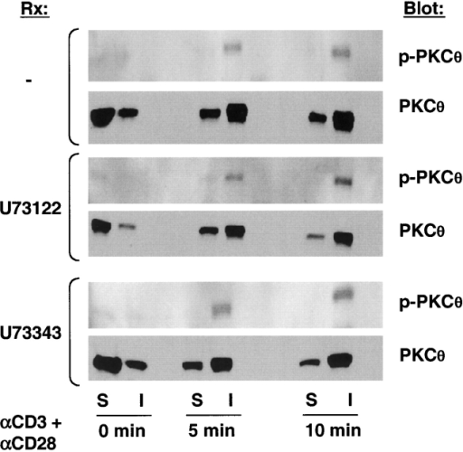Inhibition of PLC does not block PKCθ COOH-terminal phosphorylation. Jurkat T cells (2 × 106) were left unstimulated or stimulated with anti-CD3 plus anti-CD28 antibodies (1 μg/ml each) for the indicated times. Cell aliquots were preincubated for 1 h with U73122 or U73343 (10 μM). Cytosol and insoluble fractions were prepared, resolved by SDS-PAGE, and blotted with anti-phospho-PKCθ (p-PKCθ) or anti-PKCθ antibodies. The insoluble fraction represents the combined membrane and cytoskeleton fractions, which was not further fractionated in order to minimize dephosphorylation of p-PKCθ.