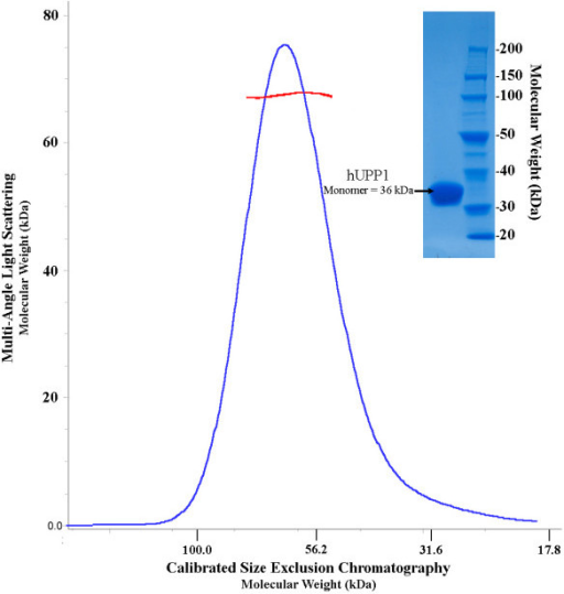 hUPP1 is a dimeric enzyme. In contrast to biophysically analyzed bacterial forms of uridine phosphorylase, human UPP1 is dimeric in solution as analyzed by both calibrated size-exclusion chromatography (blue; x-axis) and multi-angle light scattering analysis (red; y-axis).