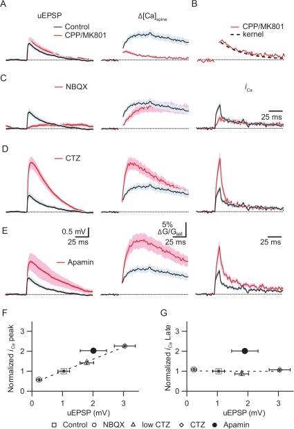 Synaptic AMPAR activation determines the early but not late phase of Ca entry into the spine.(A) uEPSPs (left) and Δ[Ca]spine (right) evoked in control conditions (black) or in the presence of the NMDAR antagonists CPP and MK801 (red). (B) uEPSP evoked Δ[Ca]spine measured in the presence of NMDAR antagonists (as in Panel A). Δ[Ca]spine is fit by a single exponential with τ = 42 ms (black dashed line), which is used as the deconvolution kernel throughout. (C) uEPSPs (left), Δ[Ca]spine (middle), and iCa (right) in control conditions (black) and in the presence of the AMPAR antagonist NBQX (red). (D) uEPSPs (left), Δ[Ca]spine (middle), and iCa (right) in control conditions (black) and in the presence of 5.0 µM CTZ to accentuate AMPAR opening (red). (E) uEPSPs (left), Δ[Ca]spine (middle), and iCa (right) in control conditions (black) and in the presence of the SK channel antagonist apamin (red). (F and G) The amplitude of the peak (F) and prolonged phase of iCa (G) plotted as a function of uEPSP amplitude for control conditions, AMPAR blockade (NBQX), AMPAR enhancement (low CTZ and CTZ), and SK channel blockade (apamin).