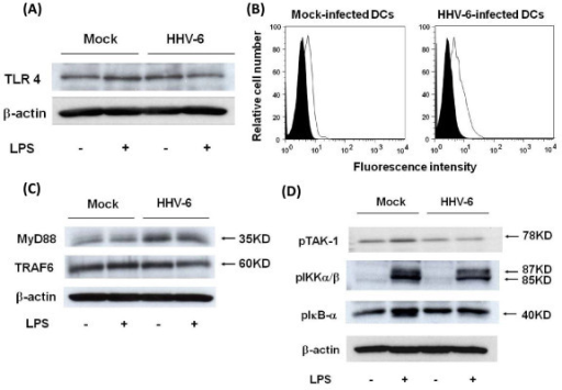 Impairment of TLR4 signaling in HHV-6-infected DCs. (A) Western blotting reveals that the expression level of TLR4 protein in HHV-6-infected DCs, which were not stimulated with LPS, is slightly higher than that in mock-infected DCs. (B) Flow cytometric analysis using fluorescent LPS conjugate reveals that the amount of LPS bound to HHV-6-infected DCs is slightly higher than that on mock-infected DCs, suggesting that the expression level of TLR4 molecules on DCs is increased after infection with HHV-6. (C) Western blotting reveals that the expression levels of MyD88 and TRAF6 proteins in HHV-6-infected DCs, which are not stimulated with LPS, are slightly higher than those in mock-infected DCs. (D) Western blotting reveals that phosphorylation levels of TAK-1, IKKα/β and IκB-α in HHV-6-infected DCs after stimulation with LPS are significantly lower than those in LPS-stimulated mock-infected DCs.