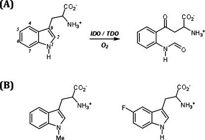 (A) Oxidation of Tryptophan Catalyzed by Heme Dioxygenases and (B) Structures of the Tryptophan Analogues Used in This Work
