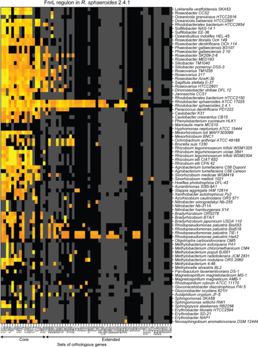 The predicted conservation of the FnrL regulon determined in R. sphaeroides across α-proteobacteria.Orange and yellow indicate respectively moderate and strong match to the DNA target sequence position-weighted matrix. Black indicates that the corresponding species possesses a gene belonging to the corresponding set of orthologs, while grey indicates that the species does not possess an orthologous gene. Sets of orthologous genes are labeled with arbitrary numbers. The core FNR regulon, as determined in Figure 4, and the extended FnrL regulon, determined in R. sphaeroides, are indicated by arrows below the sets of ortholog labels. Species are organized according to the phylogenetic tree presented in Figure S1.