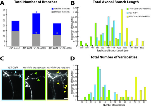 Quantitative analysis of PlexinA and PlexinB branches and varicosities reveals opposing roles in local axonal growth and synapse formation. A, PlexinA RNAi within the pSc neuron increases the number of variable axonal branches, whereas PlexinB RNAi decreases the number of highly stereotyped (skeletal) branches. Significant decreases in the number of highly skeletal pSc branches were also observed in the PlexinA RNAi neurons due to an increase in branch routing errors. Asterisks denote significance of p < 0.05. B, The pSc axonal arbor sizes with PlexinA RNAi are significantly shifted towards larger values. The distribution of pSc arbor sizes with PlexinB RNAi on the other had is shifted towards smaller values. Frequency distributions of the total axonal branch lengths among the three genotypes, 455-Gal4, and 455-Gal4; UAS-PlexA-RNAi, and 455-Gal4; UAS-PlexB-RNAi were significantly different from each other (p < 0.05). The average arbor size for 455-Gal4 control flies was 1045 μm and approximately 30% of flies had total branch lengths of 1000 μm (blue bars). The average arbor size in PlexinB RNAi pSc neurons was 918 μm with 25% of the neurons having total branch lengths of 800 μm (green bars). Reducing PlexinA expression in pSc neurons had the opposite effect, and increased their average total branch lengths to 1219 μm with 35% of arbors at 1200 μm (yellow bars). Histogram bin width, 100 μm. C, Quantification of axonal varicosities is an indirect measure of synaptic contacts. Varicosities (arrowheads) along branches were counted to obtain a lower estimate of synapse number per pSc axon. Scale bar, 5 μm. D, PlexinA knockdown significantly increases varicosities along the pSc axon. Frequency distribution of the number of varicosities in 455-Gal4; UAS-PlexA-RNAi pSc axons (yellow bars) was shifted to the right compared to the 455-Gal4 distribution (blue bars) (p < 0.01), with no significant difference in 455-Gal4; UAS-PlexB-RNAi (green bars) compared to control.