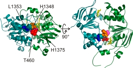 Spatial arrangement of target residues on opposite sides of CFTR's composite site 1 in homology models. In a homology model of CFTR's NBD dimer (Mornon et al., 2008), T460 (red) in the Walker A motif of NBD1 is close to NBD2 residues H1348 (gold; in the signature sequence), L1353 (blue; at the end of the signature sequence), and H1375 (magenta; in the D-loop).