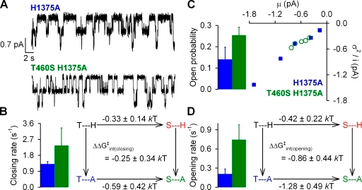 Effects of mutations at positions 460 and 1375 on normal hydrolytic channel gating. (A) Representative single-channel current traces from prephosphorylated H1375A and T460S/H1375A CFTR channels gating in 2 mM ATP. Downward deflection indicates inward current. (B; left) Closing rates of H1375A (blue bar) and T460S/H1375A (green bar), defined as the inverse of the mean burst duration (see Materials and methods). (Right) Thermodynamic mutant cycle for target pair T460-H1375 built on closing rates. The top two corners of the mutant cycle (representing WT and T460S) were taken from Fig. 2 C. (C) Noise analysis was used to estimate Po for H1375A (blue bar) and T460S/H1375A (green bar). (D; left) Opening rates of H1375A (blue bar) and T460S/H1348A (green bar), obtained using the estimate for Po (see C) and closing rate (see B). (Right) Thermodynamic mutant cycle for target pair T460-H1375 built on opening rates. The top two corners of the mutant cycle were taken from Fig. 3 D.