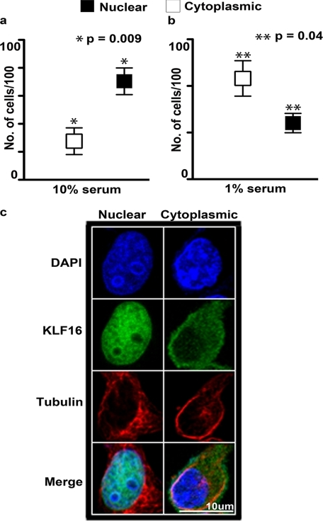 Membrane-to-nucleus signaling regulates the accessibility of KLF16 in the nucleus. Localization of KLF16 in endometrial cells was determined by immunofluorescence using anti-KLF16 in uterine cells treated with media supplemented with either 10% (a) or 0% (b) fetal bovine serum. KLF16 demonstrated preferential nuclear localization compared with cytoplasmic localization under normal serum conditions (a, 70.4% versus 27.5%, respectively; *, p = 0.009). In contrast, KLF16 demonstrated preferential cytoplasmic localization under serum-free conditions (b, 24% versus 43.2%, respectively; **, p = 0.04). c, representative cells demonstrating immunolocalization of KLF16 in uterine cells. Cells stained with anti-KLF16 and nuclear (DAPI) as well as cytoplasmic (anti-α-tubulin) markers. Blue, DAPI; green, KLF16; red, α-tubulin.