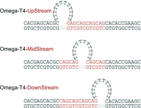 "Schematic Representation of the All-TRepeat Loop Constructs ""Frozen""in Fixed Positions: Placement of the Base-Paired CAG/CTG Domain, Indicatedby Red Letters, ""Freezes"" the All-T Loop Relative tothe Upstream and/or Downstream Nonrepetitive 11-mer Arms"