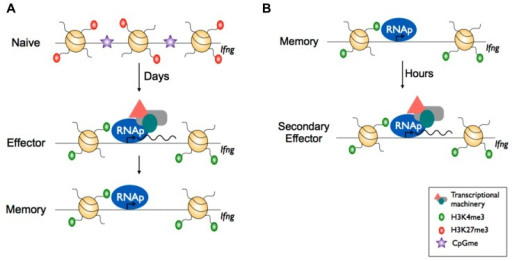 Epigenetic reprogramming within effector gene loci of CD8+ memory T cells enables rapid effector function.(A) In naïve CD8+ T cells, effector loci such as Ifng display repressive epigenetic marks e.g., H3K27me3 and is inaccessible to transcriptional machinery due to the heterochromatin structure. Upon activation, the chromatin is remodelled whereby it acquires active epigenetic marks e.g., H3K4me3 at key effector loci and nucleosome exit to make the loci accessible by transcriptional machinery and RNA polymerase II (RNAp), allowing transcription. Upon differentiation to memory CD8+ T cells, the chromatin retains the permissive H3K4me3 mark and RNAp remains docked. (B) Upon re-infection, the effector loci in memory CD8+ T cells is poised and can undergo rapid transcription.