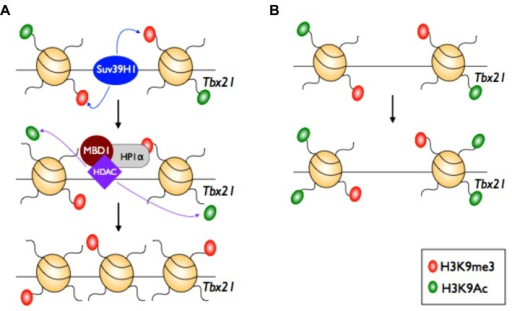 Epigenetic maintenance of TH2 lineage commitment. In the TH2 cell subset, the master regulator of TH1 cells (Tbx21) is silenced. The histone methylase Suv39H1 adds the repressive H3K9me3 mark at the Tbx21 locus. This initiates recruitment and docking of heterochromatin protein 1 alpha (HP1α), histone deacetylase (HDAC) 1 and 2, and methyl-binding domain protein (MBD1). HDACs then remove the active H3K9ac mark to maintain silencing, mediated by H3K9me3, at the Tbx21 locus.