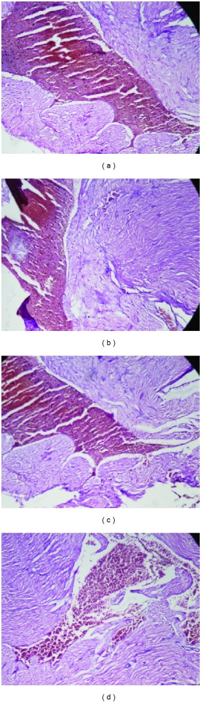 Histology of heart (H&E, 100x) of control and OSE-treated animals. (a) Section of heart from control animal showed normal muscle fibers with acidophilic cytoplasm and centrally located nuclei; ((b), (c), and (d)) heart from OSE (200, 400, and 800 mg/kg)-treated animals exhibit normal muscle fibers with acidophilic cytoplasm and centrally located nuclei.