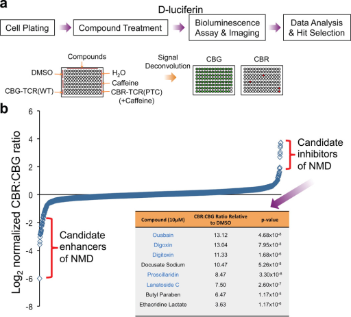 A high-throughput screen using the NMD reporter identified existing drugs that modulate NMD(a) Procedure for a high-throughput screen of the Pharmakon 1600 drug library.(b) Primary screening data. Data are shown as the log2 of the normalized CBR/CBG ratio for each compound. Each ratio was normalized to the DMSO controls on the same plate. Data represent the average of three biological replicates. Compounds were ordered from left to right with increasing relative CBR/CBG ratios. Eight candidate NMD inhibitors of stringent statistical significance are shown in the table. See Supplementary Table 2 for primary screen data of all compounds in the library.