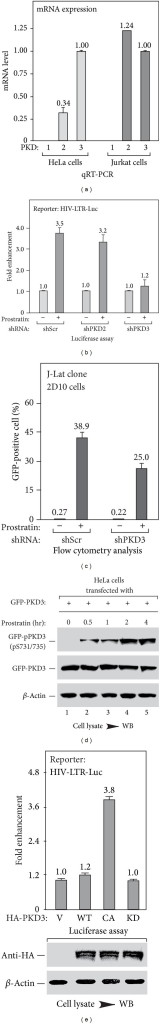 The active form of PKD3 is required for prostratin-induced HIV-1 transcription activation. (a) Expression profile of 3 PKDs in HeLa and Jurkat cells. RNA isolated from HeLa or Jurkat cells was analyzed by qRT-PCR for the expression levels of PKD1, PKD2, or PKD3, respectively. Data from 3 independent experiments were averaged and plotted. (b) Effect of shRNA knockdown on prostratin-activated HIV-1 expression in HeLa cells. The cells were cotransfected with HIV-LTR-Luc reporter construct and indicated shRNA for 48 hrs, followed by a 6 hr treatment of 2 μM prostratin as indicated. The luciferase activities were plotted based on 3 independent experiments, with the level of untreated cells set to 1.0. (c) Effect of shRNA knockdown on prostratin-activated expression of latent HIV-1 provirus in J-Lat 2D10 cells. The cells were infected with indicated shRNA for 48 hrs, followed by a 16 hr treatment of 0.5 μM prostratin as indicated. The GFP-positive cells were detected by flow cytometry and plotted based on 3 independent experiments as in Figure 1(b). (d) Prostratin activates PKD3 by inducing the phosphorylation at Ser731/735 of its activation loop. HeLa cells transfected with GFP-PKD3 cDNA were treated with 2 μM of prostratin for indicated time. The phosphorylation levels of Ser731/735 of GFP-PKD3 in cell lysates were measured by Western blotting, with the levels of bulk GFP-PKD3 shown below. (e) Effect of PKD3 activity on HIV-1 expression. HeLa cells were cotransfected with HIV-LTR-Luc reporter plus indicated HA-tagged PKD3 constructs for 48 hrs. The luciferase activities were plotted based on 3 independent experiments, with the level of cells transfected with empty vector set to 1.0. The expression levels of transfected HA-PKD3 were detected by Western blot with anti-HA antibody and shown at the bottom. V: empty vector; WT: wild-type; CA: constitutively active form of PKD3 containing S731E/S735E mutations; KD: kinase-dead form of PKD3 containing S731A/S735A mutations.