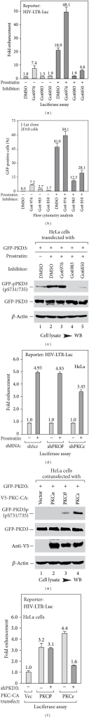 Prostratin activates PKD3 via PKCε of novel PKC subfamily. (a) Effect of PKC/PKD inhibitor on prostratin-stimulated HIV-1 expression in HeLa cells. HeLa HIV-LTR-Luc cells were pretreated with indicated inhibitor for 1 hr, followed by 2 μM prostratin treatment for 6 hrs. The levels of luciferase activity were plotted based on 3 independent experiments, with the level of untreated sample set to 1.0. (b) Effect of PKC/PKD inhibitor on prostratin-stimulated expression of latent HIV-1 provirus in 2D10 Jurkat cells. 2D10 cells were cotreated with indicated inhibitor plus 0.5 μM prostratin for 16 hrs, followed by flow cytometry assay. The percentage of GFP-positive cells was plotted based on 3 independent experiments. (c) Effect of PKC inhibitors on prostratin-induced PKD3 activation. HeLa cells transfected with GFP-PKD3 were pretreated with indicated kinase inhibitor for 1 hr, followed by 2 μM prostratin treatment for 2 hrs. The phosphorylation levels of Ser731/735 of expressed GFP-PKD3 in cell lysates were analyzed by Western blotting, with the levels of bulk GFP-PKD3 shown at the bottom. (d) Effect of nPKC knockdown on prostratin-induced HIV-1 expression. HeLa cells were cotransfected HIV-LTR-luciferase construct with shRNA for PKCθ or PKCε for 48 hrs, followed by 2 μM prostratin treatment for 6 hrs. The levels of luciferase activity were plotted based on 3 independent experiments, with the level of untreated sample set to 1.0. (e) Effect of nPKCs on PKD3 activation. HeLa cells were cotransfected with GFP-PKD3 plus indicated constitutive active form of PKC construct tagged with V5 (V5-PKC-CA). The phosphorylation levels of Ser731/735 of GFP-PKD3 were analyzed as (c). (f) Effect of knocking down PKD3 on nPKC-stimulated HIV-1 expression. HeLa cells were cotransfected HIV-LTR-Luc reporter plus indicated shPKD3 and PKC-CA constructs. The luciferase activities were plotted based on 3 independent experiments, with the level of cells transfected with empty vector set to 1.0.