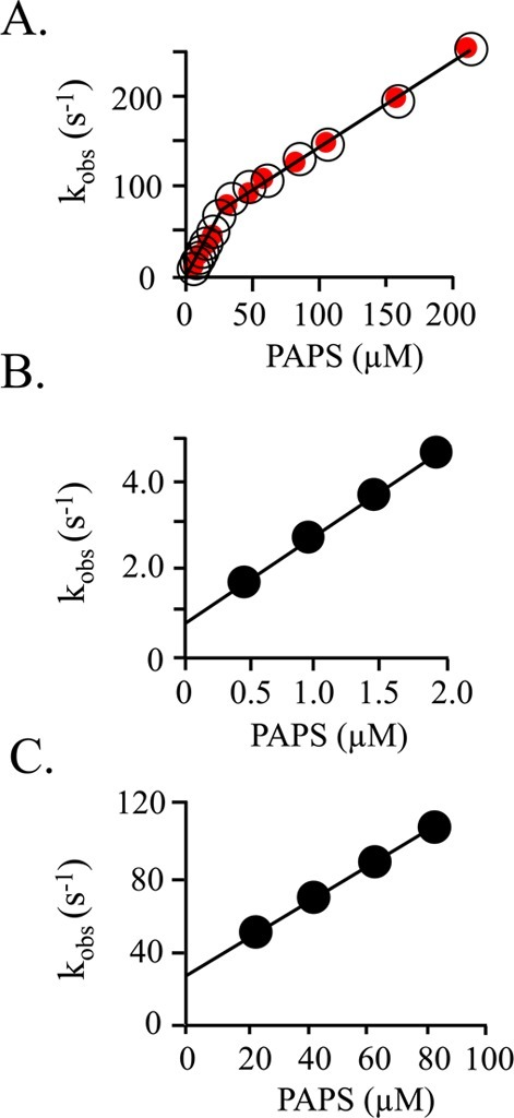 Pre-steady-state binding of PAPS to SULT1A1. (A) Composite kobs vs [PAPS] plot. Two well-isolated bindingphases are observed. Binding was monitored via changes in SULT1A1intrinsic fluorescence (λex = 290 nm; λem ≥ 330 nm). kobs valuesare the average of three independent determinations. Reaction conditionsincluded SULT1A1 (0.050 μM, dimer), MgCl2 (5.0 mM),NaPO4 (50 mM), pH 7.2, and 25 ± 2 °C. Red dotsindicate the kobs values predicted usingthe kon and koff values obtained from the experiments associated with panels B andC. (B) kobs vs [PAPS] for the high-affinitysubunit. Reaction conditions were identical to those described forpanel A except that [SULT1A1] = 0.030 μM (dimer). kon = 2.0 ± 0.2 μM–1 s–1; koff = 0.70 ± 0.02s–1. (C) kobs vs [PAPS]for the low-affinity subunit. Reaction conditions were identical tothose described for panel A except the SULT1A1 (2.0 μM, dimer)was equilibrated with PAPS [8.0 μM, 26Kd(high affinity), 0.27Kd(low affinity)] before being mixed with PAPS at higher concentrations (20–80μM). kon = 0.96 ± 0.01 μMs–1; koff = 29 ±1 s–1. All reactions were pseudo-first-order inPAPS concentration.
