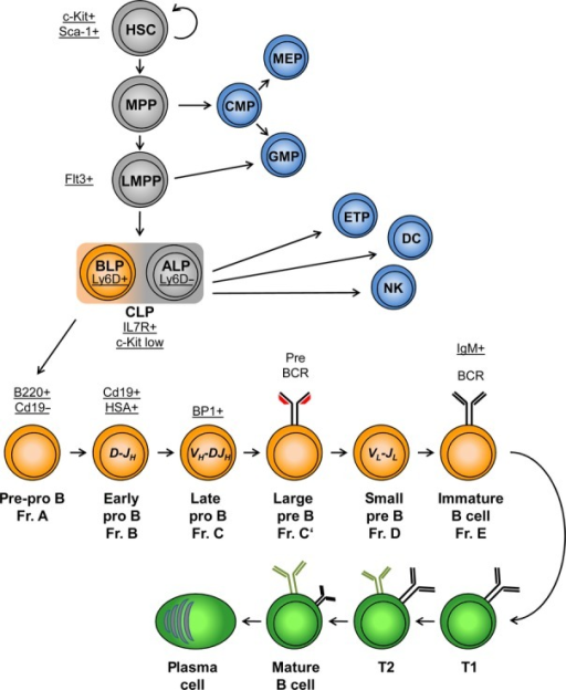 A schematic view of B-cell lymphopoiesis. Common develo | Open-i