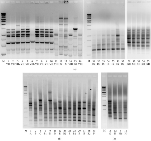 Biodiversity of nematode intestinal microbiota. Rep fingerprinting profiles of bacterial colonies randomly chosen after plating MBC homogenates used to feed worms (a) or nematode intestinal lysates at L4 stage (b) and 8 days of adulthood (c) following LAB microbiota supplementation. Arabic numerals indicate each isolate, while roman numerals or letters identify rep groups. M: 1 kb DNA ladder, Promega. Only representative rep groups are shown in panels a and c.
