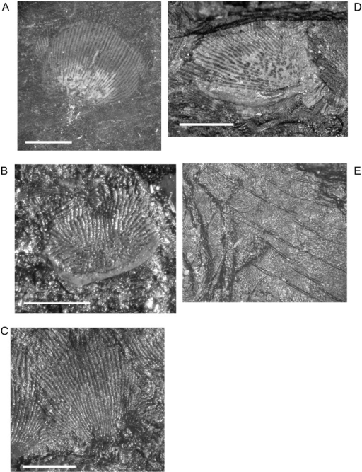Dermal scales of M. pelikani.Individual scales (A-D) and in rows (E). Note heavy ridge in B and D. Scale bars = 1mm.