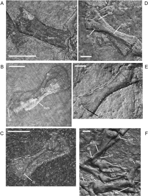 Ontogenetic changes in the femur of M. pelikani.A. Stage 1, NHMW1894-2400; proximal toward left. Note unfinished ends. B. Stage 2, NHMW1983_32_50; proximal toward bottom left. Note waisting of shaft. C. Stage 3, St.190; proximal toward bottom left. Impression of crushed element. D. Stage 4, MB.Am.810; proximal toward upper left. Internal trochanter is broken. E. Stage 5, AMNH2557; proximal toward upper right. F. Stage 6, MB.Am.840; Elements from both sides present, anterior is to the left. Femur toward top is ventral view, femur toward bottom is dorsal view. Adc, adductor crest; Dcd, distal condyles; Fem, femur; Fib, fibula; Fh, femoral head; Icf, intercondylar fossa; Ili, ilium; Ish, ischium; Itr, internal trochanter; Itrf, intertrochanteric fossa. Scale bars = 1mm.